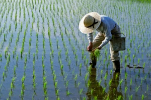 109724079-rice-planting-gettyimages