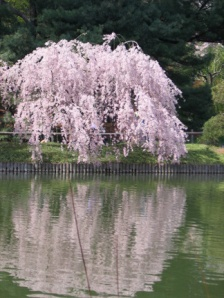 Weeping Cherry Tree by Pond