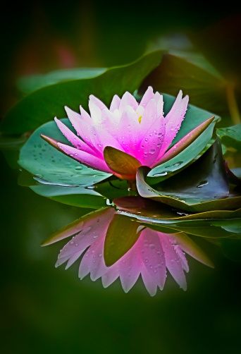 115549989-lotus-flower-gettyimages