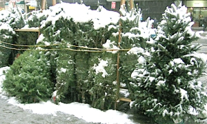 Christmas trees in Chelsea — a few years ago!