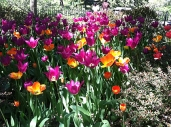 More Tulips