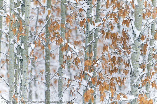 Balsam poplar trees in snow