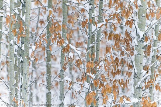 Balsam poplar trees in snow