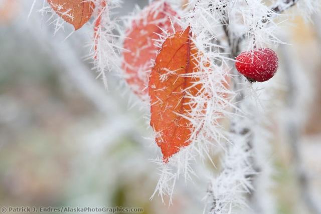 Frost on chokecherry