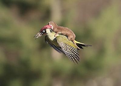 WeaselOnWoodpecker
