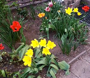 25-Tulips