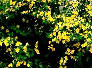26-YellowBush